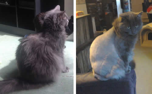 Smokey before and after his lion cut